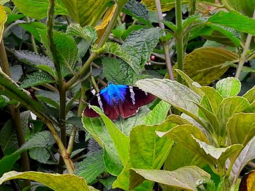 'Chiriqui Flasher' Blue Butterfly