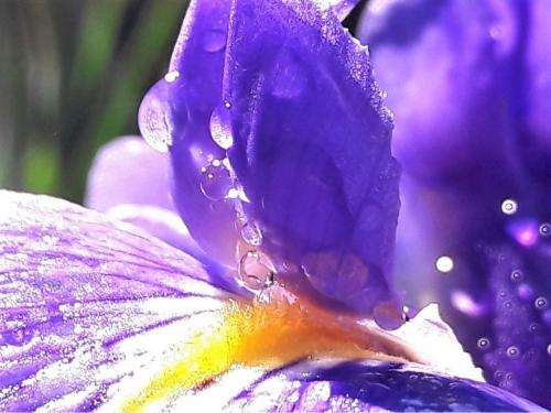 Purple Flag with Morning Dew