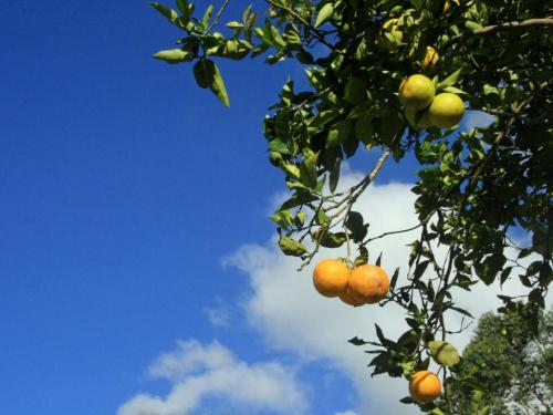 Citrus Trees Producing All Year
