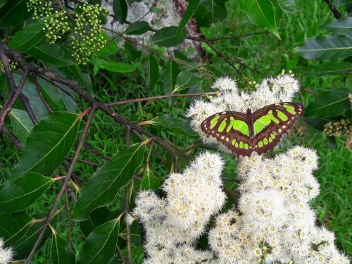 Malachite Green Butterfly on Eucalyptus Flowers